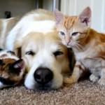 [ほのぼの] 大型犬と一緒に寝る2匹の仔猫