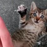 手を離すとバンザイをする子猫