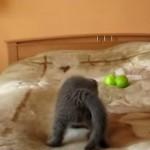 子ネコが真剣に戦ってる相手は・・・2コのリンゴ