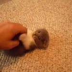 スコティッシュフォールド×マンチカンの子ネコが遊ぶ