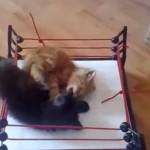 [激闘] プロレスの試合をするネコ達