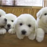 グレートピレニーズの仔犬が6匹
