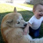 優しい秋田犬が赤ちゃんと幸せそうに遊ぶ