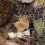 ひよこをお腹に抱いて寝るネコちゃん
