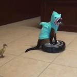 ルンバにのってサメのコスプレをしながら、アヒルの子を追いかけるネコ