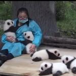 飼育員さんに甘えたり、ゴロゴロしているパンダの赤ちゃん達♪
