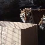 [実験] ネコはダンボールが大好き、ではネコ科のライオンやトラは?