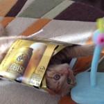ビールの箱と一体化するネコ