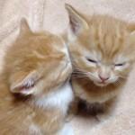 [合体?] 隣の子に顔をうずめたまま眠る子ネコちゃん