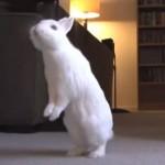 ウサギの進化?二足歩行を覚えたうさぎさん