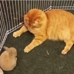 ウサギ小屋に入って子ウサギのお世話をするネコ