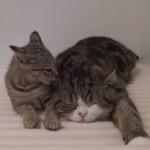 仲良くお風呂のふたの上でまったりするネコ達