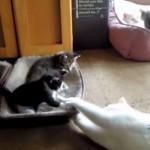カワイイ子猫たちと遊んであげる先輩ネコちゃん