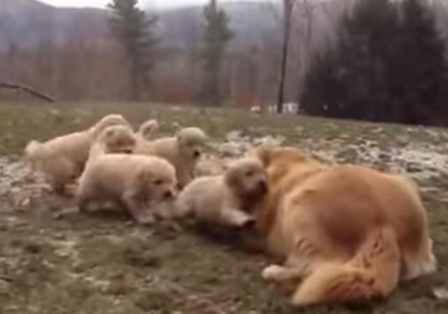 5匹の子供と遊ぶゴールデンレトリバーのお母さん♪