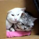 どうしても一緒に寝たい白猫ちゃん♪