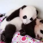 遊びたい子パンダと眠い子パンダの攻防
