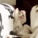 母猫が手で顔を洗ってるのをみて、真似をするけど間違ってる子ネコちゃん♪