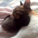 合体して眠る親子猫
