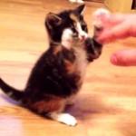子ネコの繰り出す、史上最弱のネコパンチにメロメロ