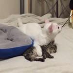地震!子猫を身を挺して守る先輩ネコちゃん