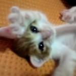 ウネウネしながらネコパンチする子猫♡
