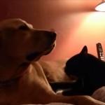 ネコちゃんがワンちゃんにマッサージ、嬉しそうなゴールデン♪