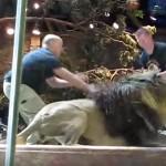 危ない!動物園で雄ライオンに襲われる飼育員さん、助けに入ったのは??