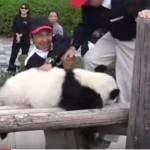 「帰るのイヤッ!まだ遊んでる!」家に戻りたくない子パンダの抵抗が可愛い
