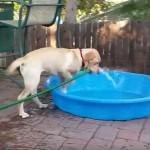 [プール♪] ホースを持ってきてプールに水を入れようとするワンちゃん