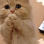 マンチカンの子猫のお願いポーズに胸キュン♡
