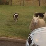 ワンちゃんと一緒にピョンピョン跳ねてごきげんな羊さん