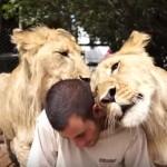 ライオンに囲まれてスリスリされる人間
