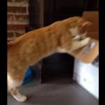 ダンボールを覗く猫ちゃん、コントのような悲劇が起こる・・・