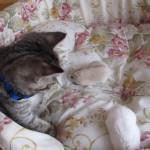 何ニャ?何ニャ?ハムスターを怖がる気弱な猫ちゃん