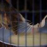 一緒にミルクを飲むほど仲良しな猫とネズミ