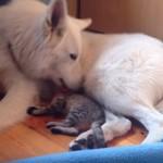 迷い込んでしまって保護された子猫ちゃん、心配しながら先住犬に合わせたら・・・