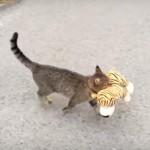 隣の家からトラのぬいぐるみを捕獲してきた飼い猫♪