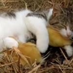 自分の仔猫と一緒にアヒルのヒナを育てる母猫ちゃん