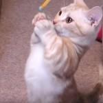マンチカンの子猫がネコじゃらしと格闘、それだけで癒し