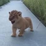 「がぉーん」吠える練習をする子ライオンが可愛すぎて悶絶