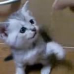 小さな子猫の「ねこパ~~ンチ」が可愛すぎてノックアウト
