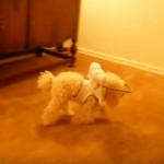 失明してしまった愛犬のために、開発した「天使のリング」が凄いと話題