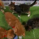 子猫のラグビーワールドカップは、激しい肉弾戦で可愛すぎた