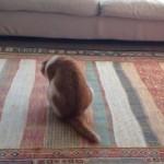 可愛くて悶絶♪お尻歩きをするお茶目な猫ちゃんがカワイイ♪