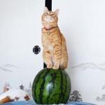 スイカ乗りな猫
