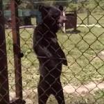 二足歩行するクマがどうみても人間(^◇^)
