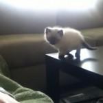 ジャンプが怖くてウロウロしていた子猫が、ついに覚悟を決めて・・・