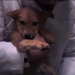 殺処分寸前で助けられたワンちゃん、災害救助犬として活躍する物語