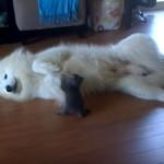 子猫に飛びつかれても、優しく降参ポーズして見守る優しいサモエドさん