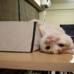 おかしな体勢で寝てしまうネコ